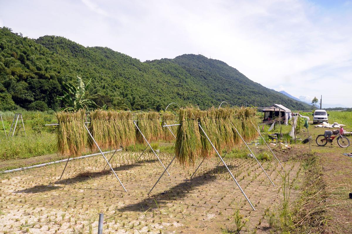 割稻、曬穀